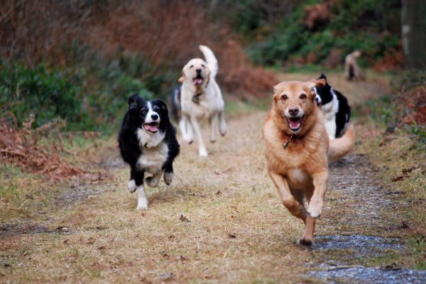 Group of dogs running on a countyside path