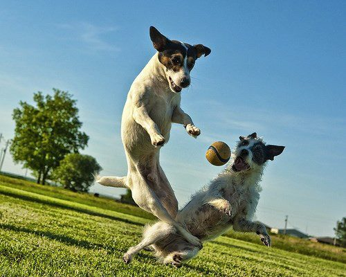 Two dogs jumping a catch a ball